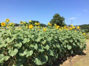 千葉県某所のひまわり畑
