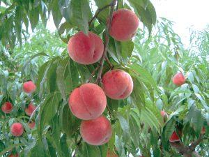 桃の樹の様子